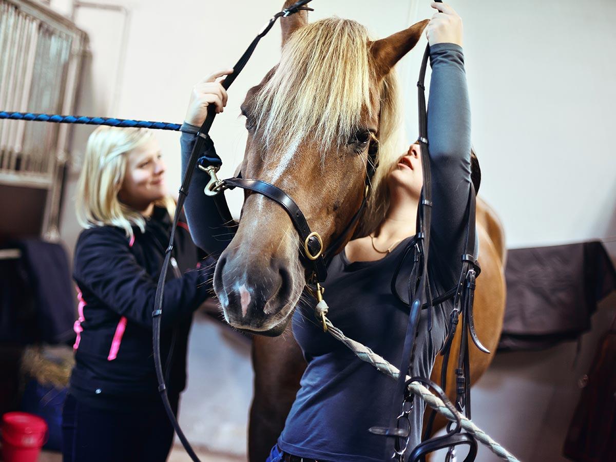 hevostalous opiskelijat valjastava hevosta