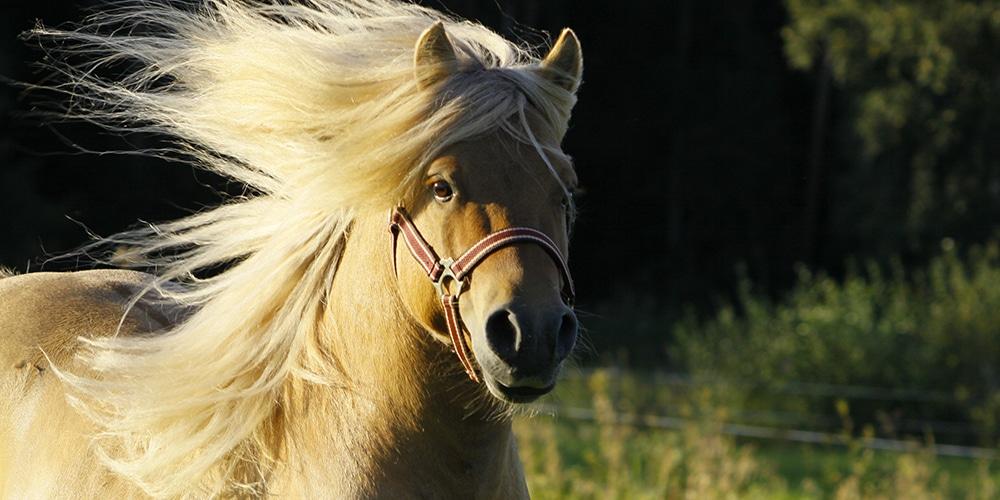 Hevonen juoksemassa