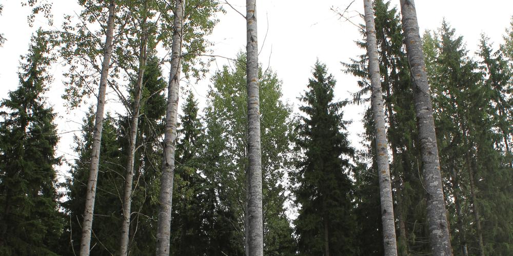 Metsä, puut
