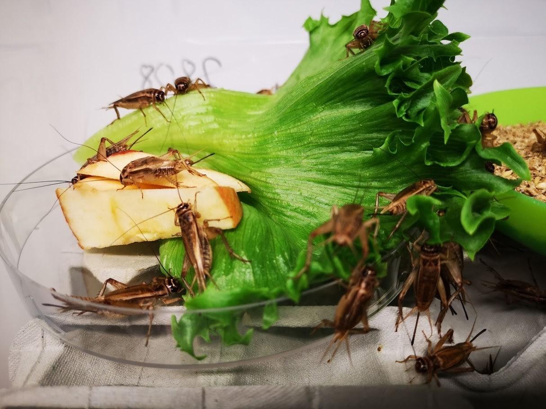 kotisirkat syömässä salaattia