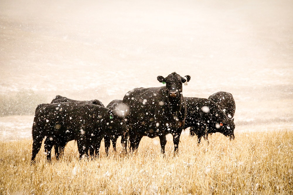 karjaa laitumella talvella