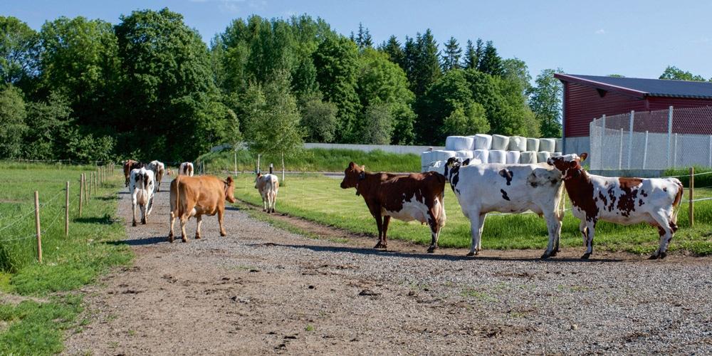 lehmiä Mustialassa