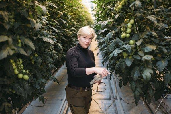 nainen töissä kasvihuoneessa jossa kasvatetaan tomaatteja