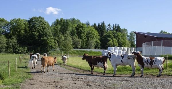 Lehmiä ulkosalla Mustialassa