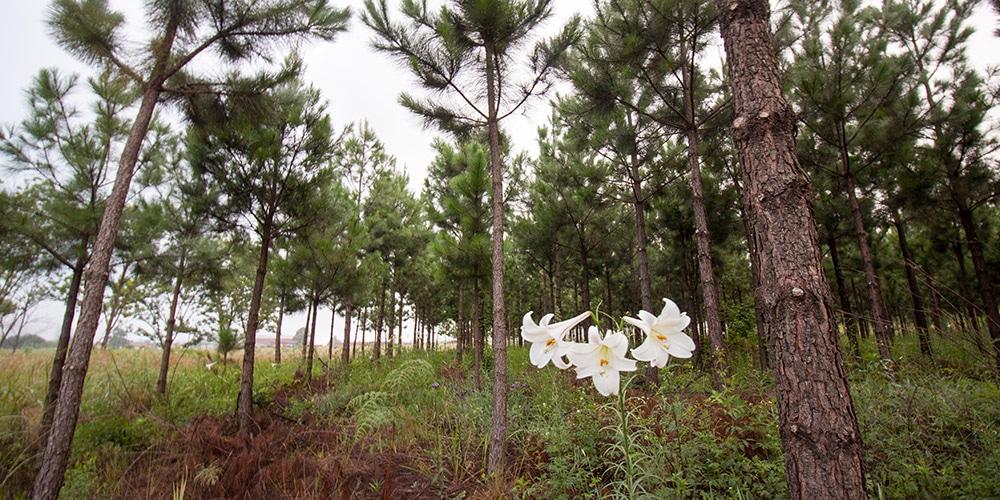 valkoisia kukkia afrikkalaisessa metsässä